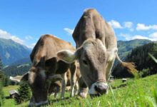 NZ farmer fined for mistreating cows