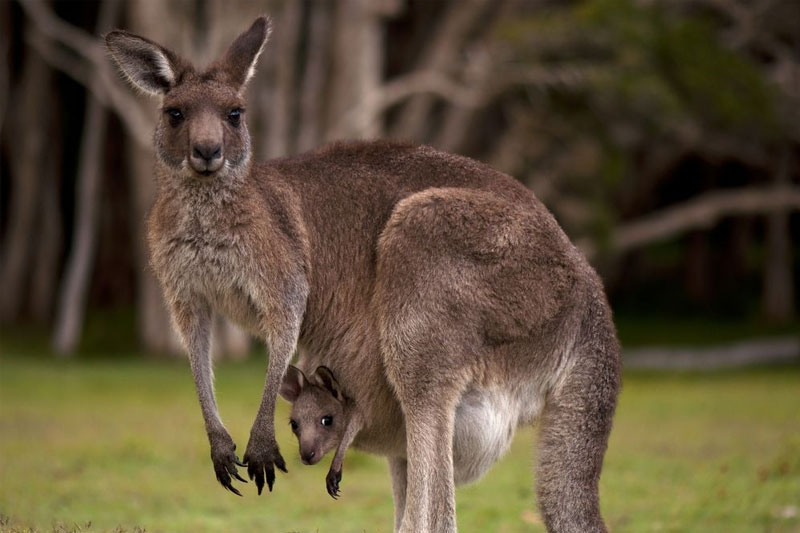 Hyderabad Zoo to get two pairs of Eastern Grey Kangaroos from Japan
