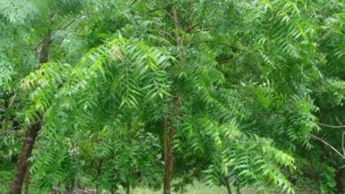 Neem Trees Infected With Virus: Scientists Conducting Research, No Results so far