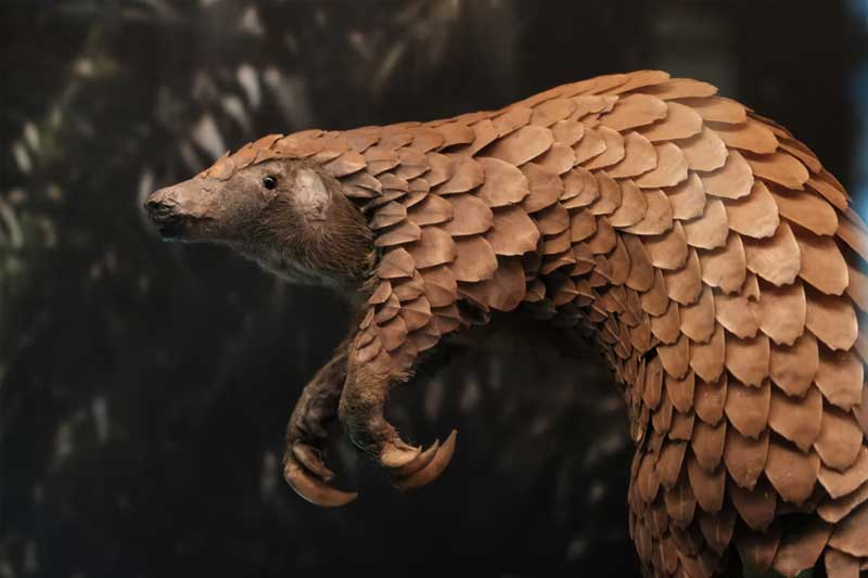 18 booked for smuggling pangolin from UP forest